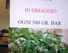 pianta caffè arabica 001